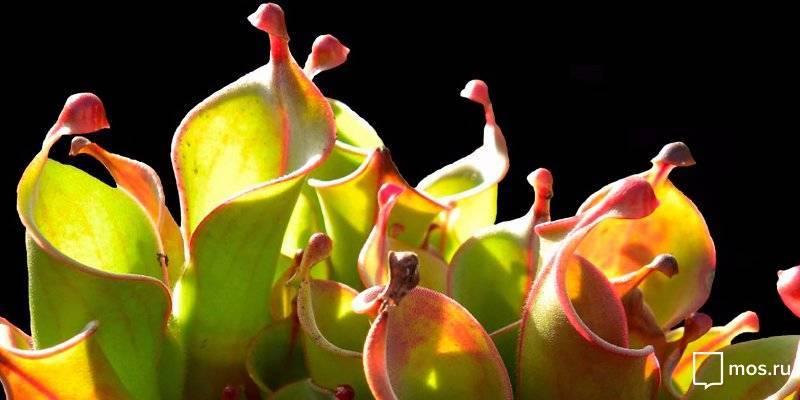 8 хищных цветов для выращивания дома и особенности ухода за ними
