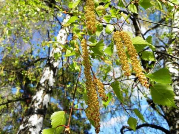 Betula pendula roth описание таксона
