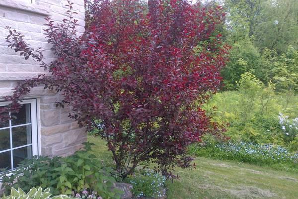 Декоративная слива с красными листьями фото