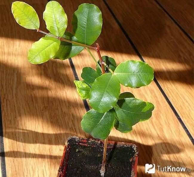 Кэроб (рожковое дерево) — полезная сладость без капли вредного сахара!