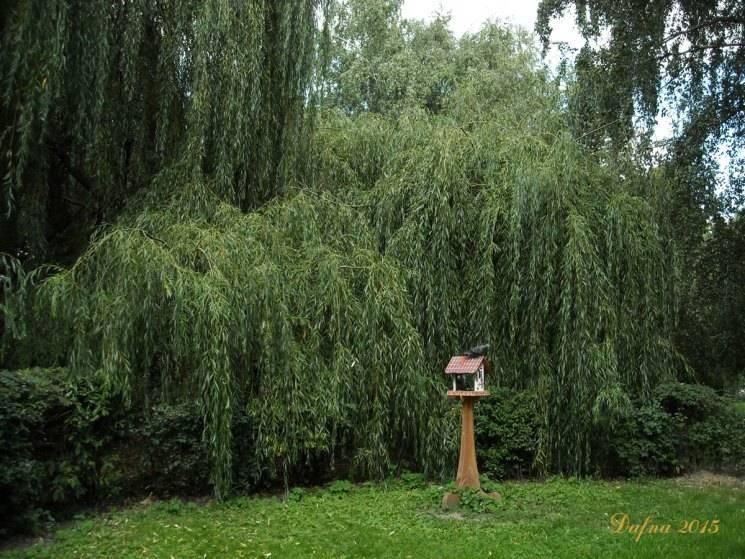 Виды и сорта ивы для посадки на дачном участке