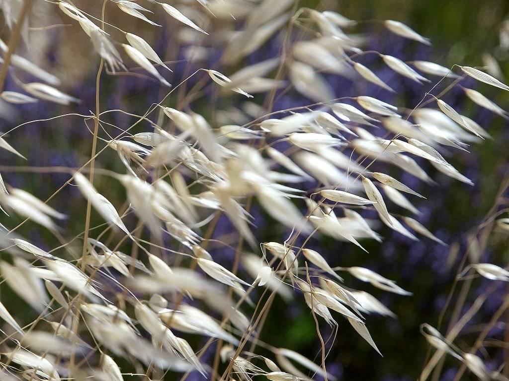 Овсяницы и особенности их выращивания