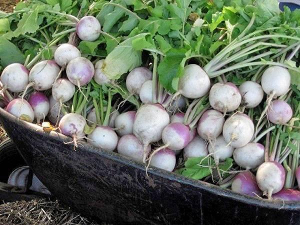 Характеристика кормовых корнеплодов