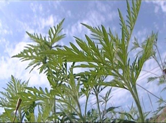 Время начала цветения в москве по календарю для аллергиков на 2020 год