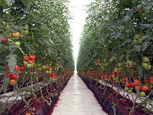 Рассада помидор для теплицы: когда сажать и как правильно выращивать