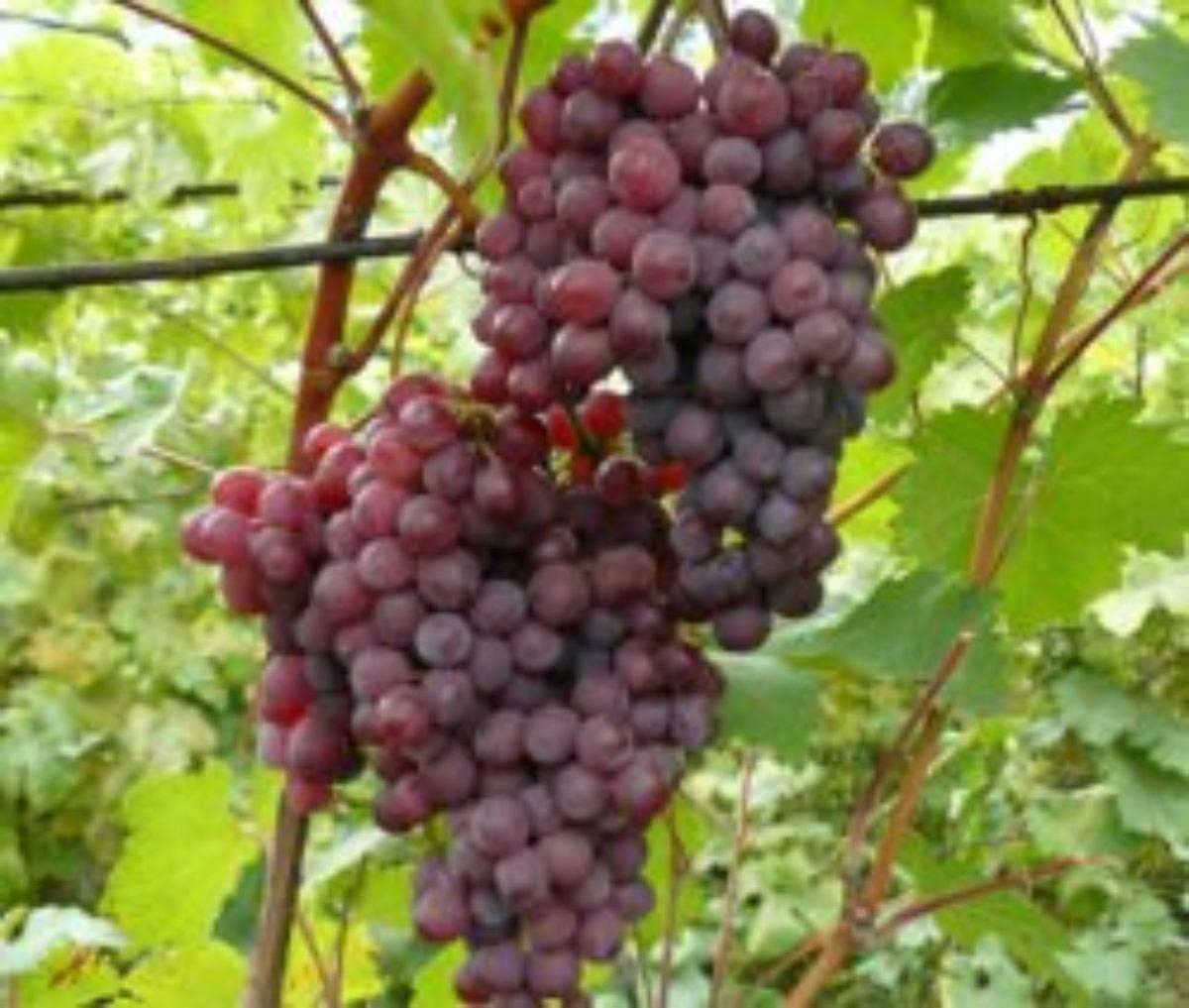 Сорта винограда ранних сроков зрелости