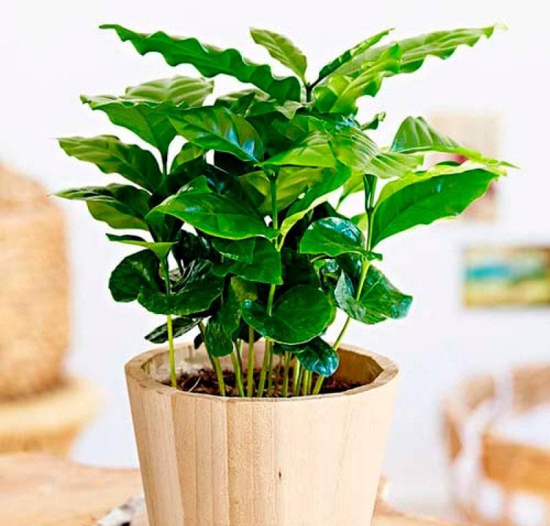 Как вырастить кофейное дерево дома. уход за кофейным деревом в домашних условиях
