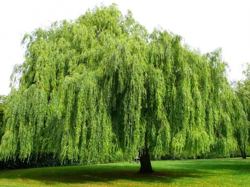 Виды плакучей ивы, их особенности и правила ухода за растением