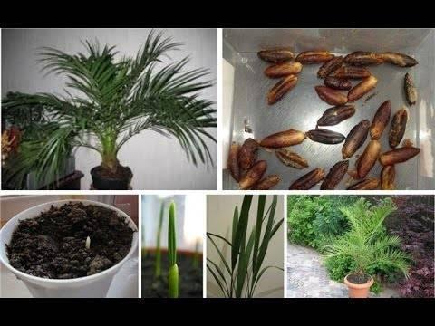 Как вырастить финиковую пальму из косточки в домашних условиях? советы и рекомендации грамотного выращивания