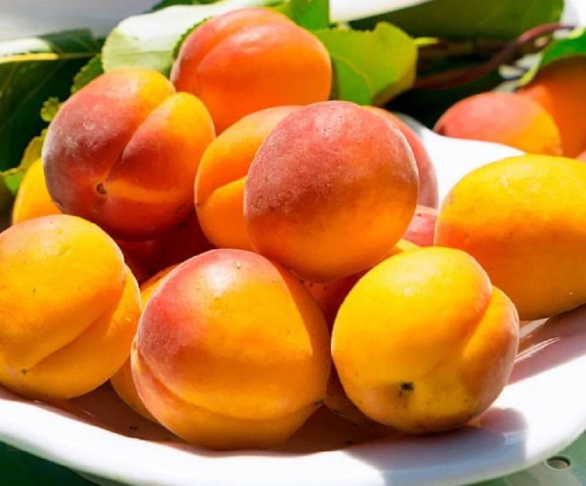 Все о сорте абрикоса северный триумф – выращиваем вкусные фрукты
