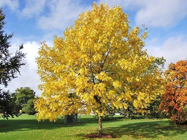 Описание листа ясеня. величественный воин сада — дерево ясень