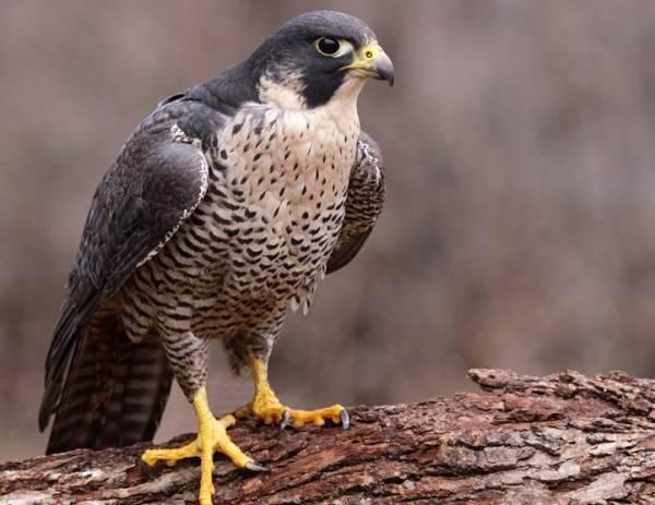 Насколько опасны пухопероеды для домашних птиц и можно ли избавиться от этих паразитов?