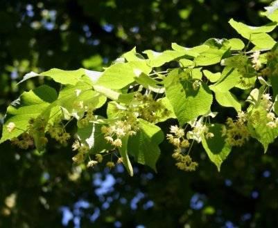 Лечебные свойства цветков липы и противопоказания