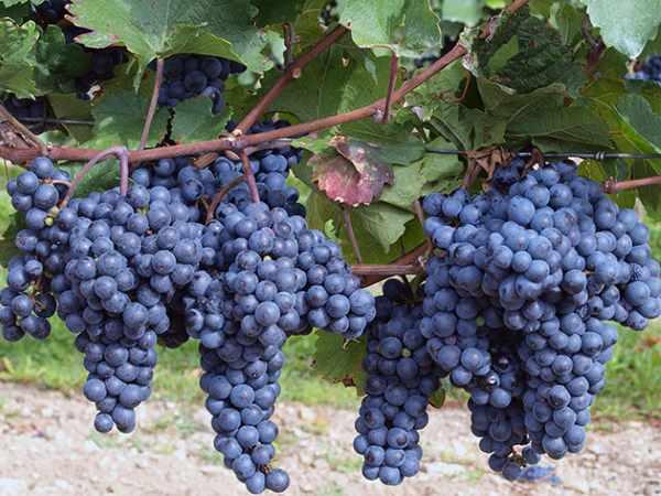 Руководство по обрезке винограда летом для новичков