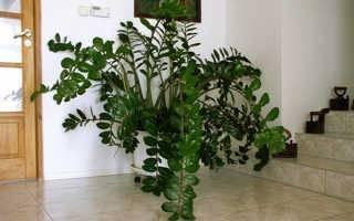 Все о размножении замиокулькаса в домашних условиях