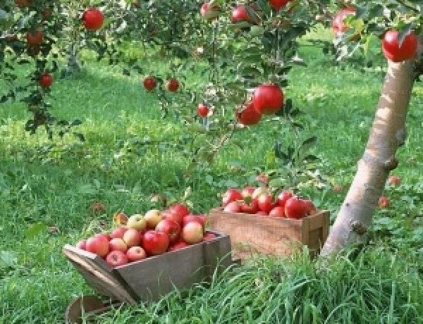 Осеняя подготовка плодовых деревьев к зиме