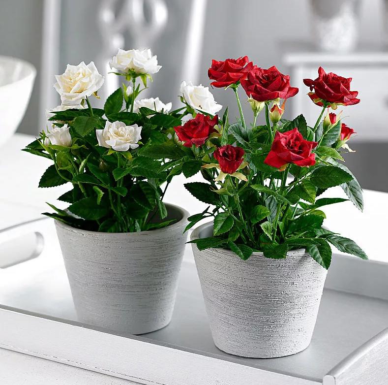 Как спасти розу, если она засохла? советы, что делать для реанимации растения в горшке и в открытом грунте