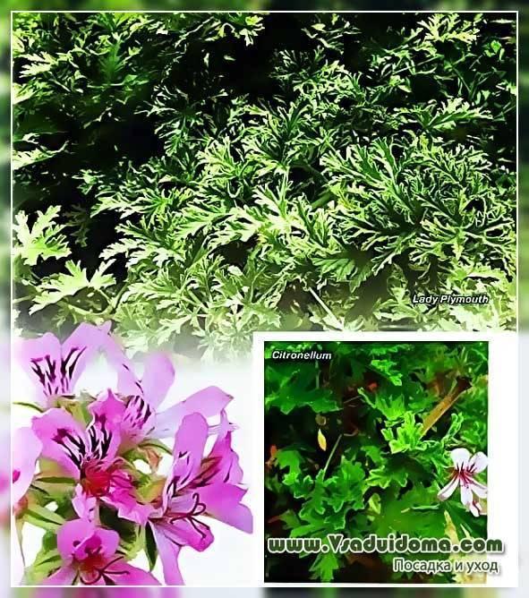 Отличия душистой герани от других видов, особенности цветения и правила размножения пахучего растения