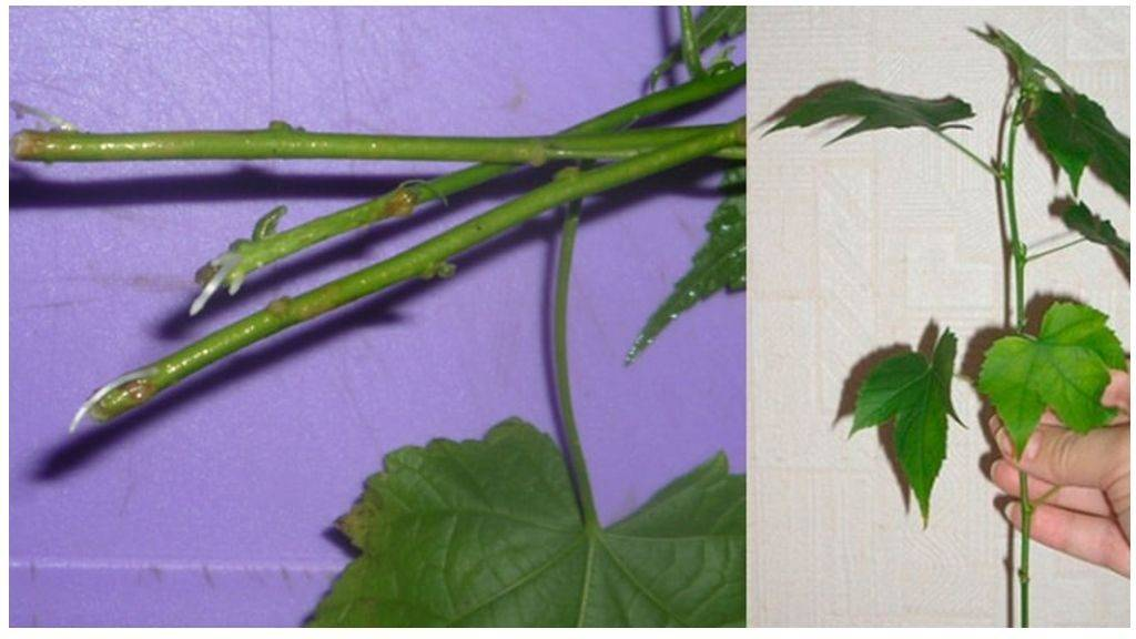 Абутилон: уход в домашних условиях, выращивание из семян, виды, фото