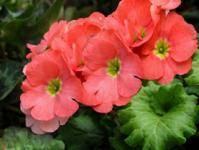 Примула юлии — неприхотливый и яркий первоцвет в саду