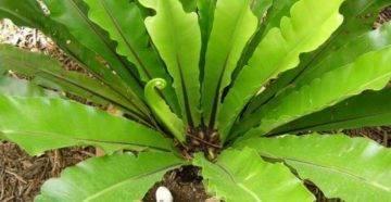 Асплениум (костенец): виды папоротника, уход в домашних условиях