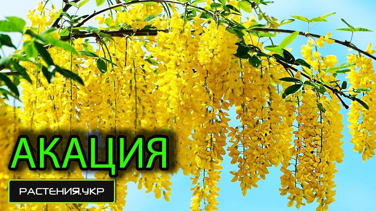 Карагана древовидная (желтая акация): использование цветов и листьев