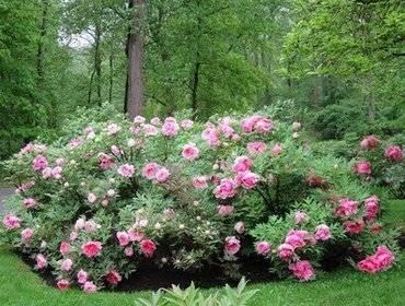 Пионовая роща в саду: как выбрать и вырастить древовидные пионы самостоятельно