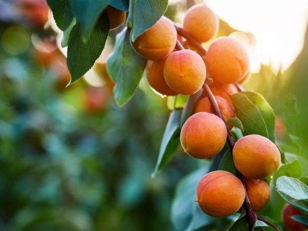 Как правильно обрезать абрикос и сформировать крону весна/лето/осень