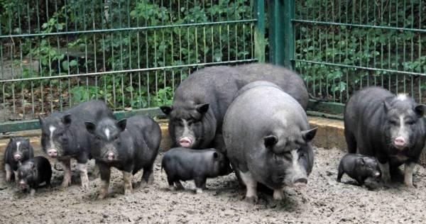 Отзывы владельцев вьетнамских вислобрюхих свиней