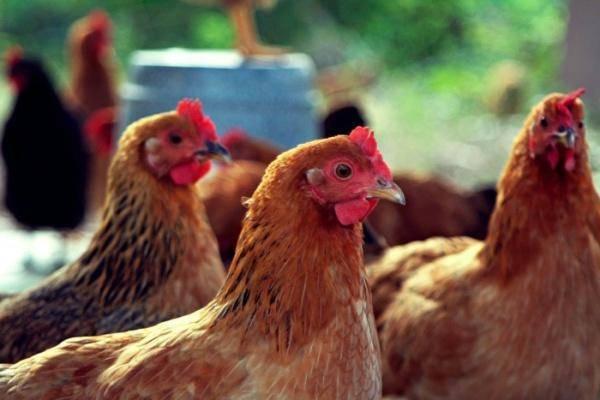 Болезни кур в домашних условиях - профилактика, лечение, опасность