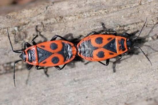 Полезные жуки, которых не стоит истреблять в саду, огороде и на цветах