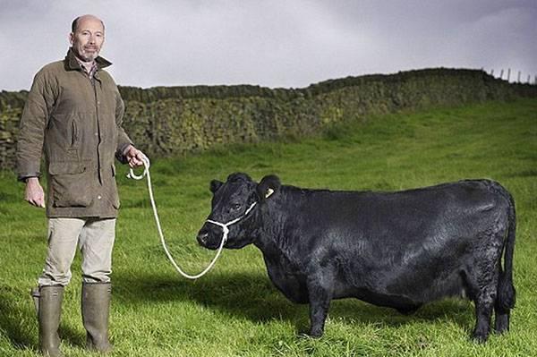 Мини-коровы: описание пород с фото и видео
