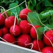 Посадка редиса весной или создаем условия для первого в году урожая
