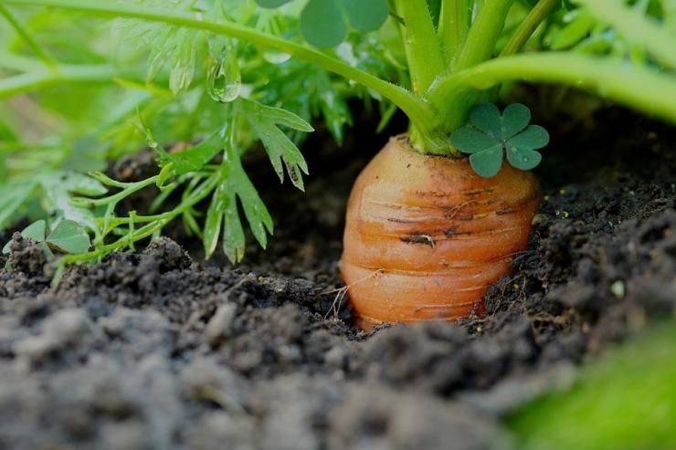 Как выращивать морковь в открытом грунте в подмосковье
