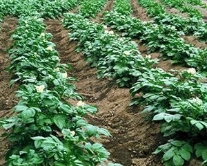 Поливка картофеля