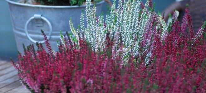 Низкорослый кустарник вереск: посадка и уход в открытом грунте, разнообразие сортов, выращивание роскошного растения с неповторимым ароматом