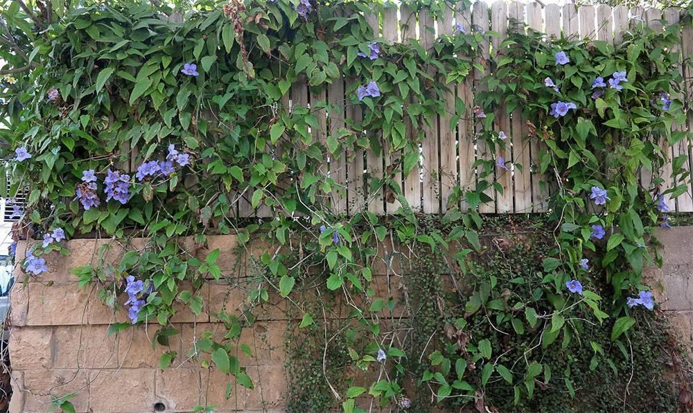 Тунбергия — посадка и уход (фото) за цветущей лианой