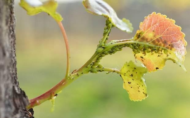 Тля на плодовых деревьях: устранение угрозы и профилактика