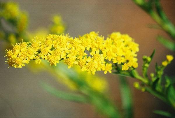 Золотая розга — лечебные свойства и противопоказания