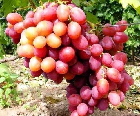 Виноград анюта — описание сорта, фото, отзывы