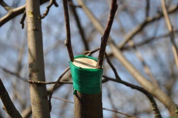 Прививка деревьев весной, способы прививки плодовых деревьев для начинающих
