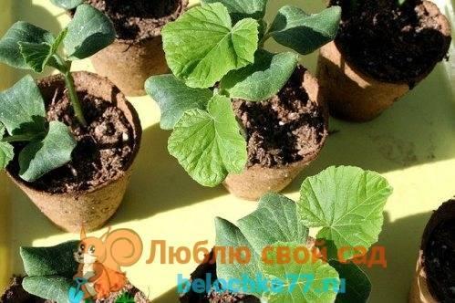 Выращивание рассады тыквы и посадка в открытый грунт чем подкормить рассаду тыквы как поливать