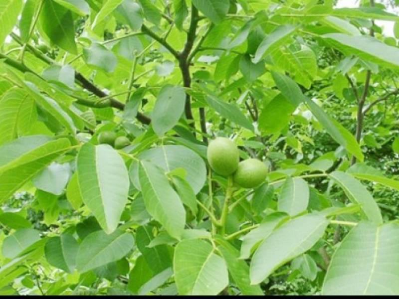 Полезные свойства листьев грецкого ореха и возможные противопоказания