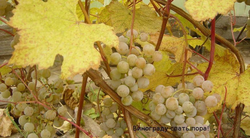 Уход за виноградом весной: открытие после зимы, подвязка, обрезка, обработка, подкормка