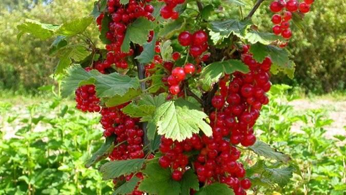 Характеристики и описание 40 лучших сортов красной смородины