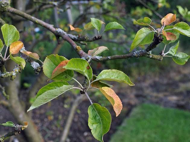 У яблони скручиваются листья: возможные причины и способы лечения