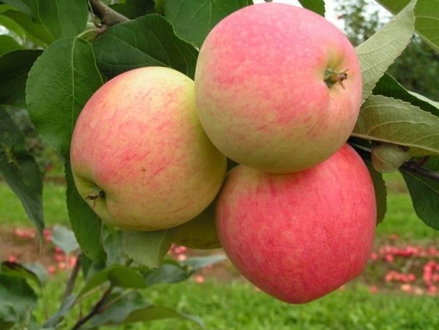 Обзор сибирских сортов яблонь