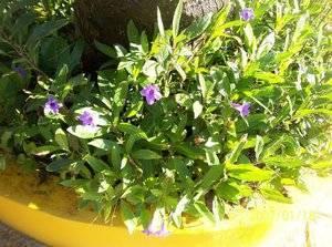 Катарантус, выращивание из семян в домашних условиях