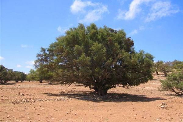 Железное дерево: описание и применение