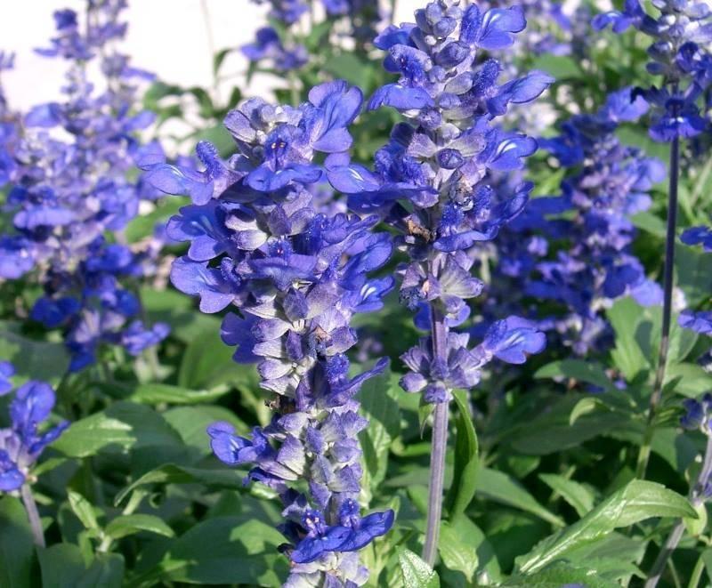 Выращиваем семена шалфея в открытом грунте (на даче) или на подоконнике: особенности подготовки, посадки и ухода